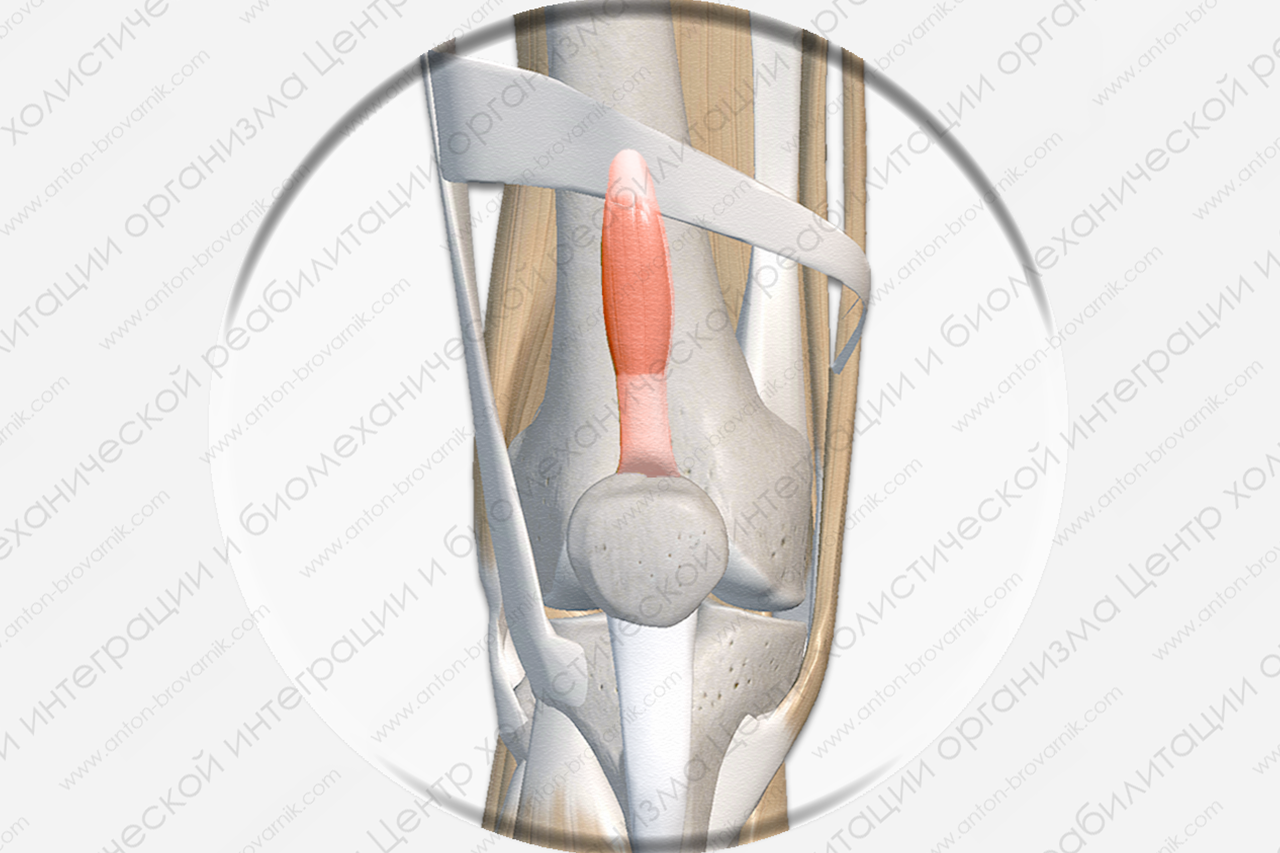 Суставная мышца колена (Musculus articularis genus)
