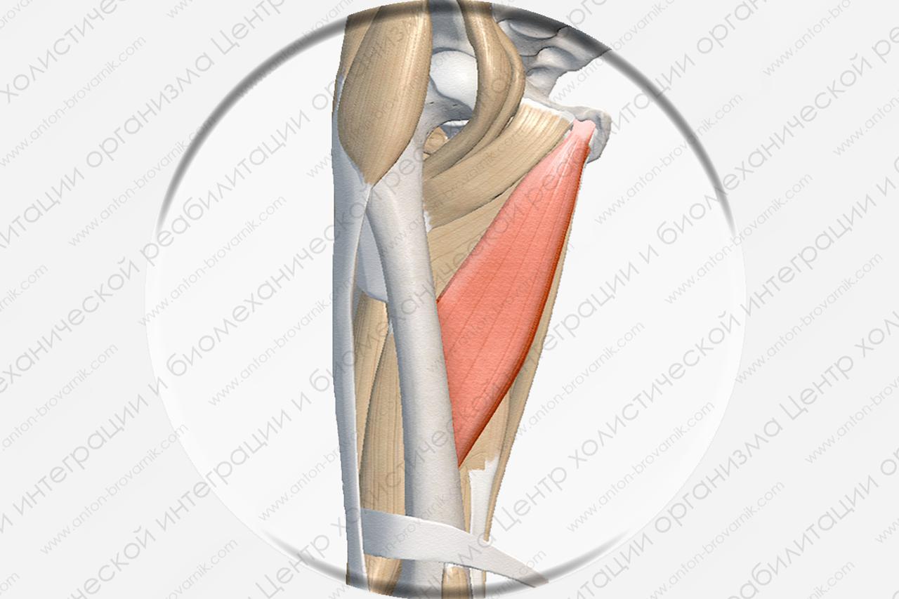Длинная приводящая мышца Musculus adductor longus