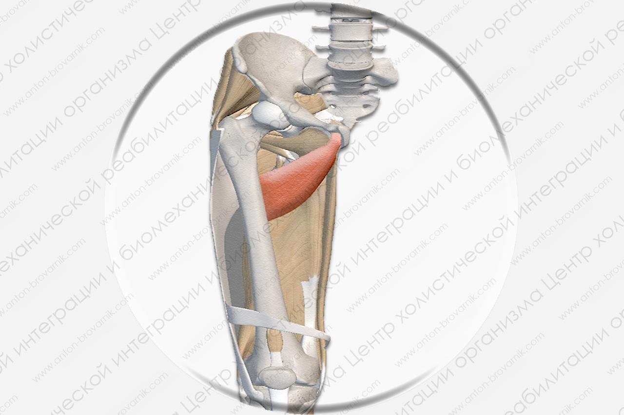 Короткая приводящая мышца (Musculus adductor brevis)